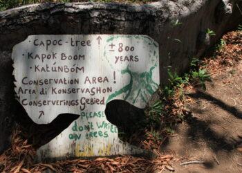 Capoc Tree Curacao