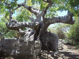 Capo Tree Curacao