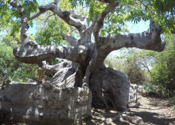 Capo Tree Curacao