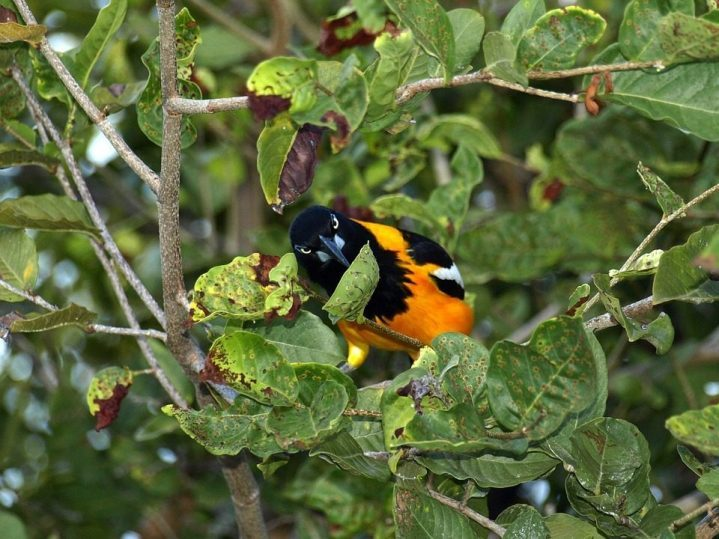 kleinster vogel karibik